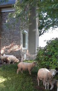 Sheep and Cobblestone