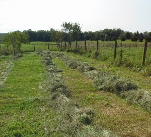 Windrows of fresh cut hay