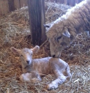 Mother sniffs Lamb